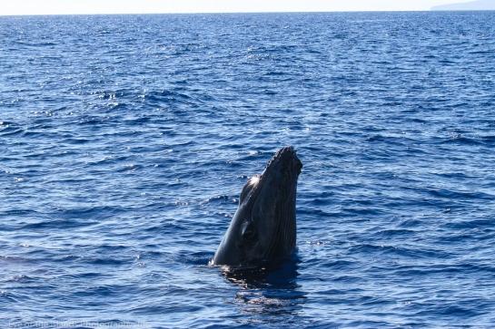Baby humpback taking a peek.